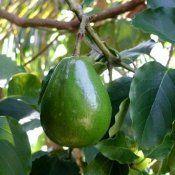 Авокадо користь і шкода для здоров`я людини