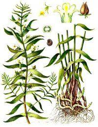 Авран лікарський - багаторічна трава