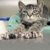 Хвороба котячих подряпин: лікування народними засобами і аптечними препаратами