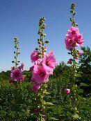 Цілющі властивості квіток мальви