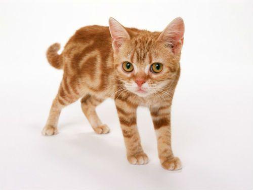 Чим лікувати вуха коту