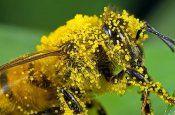 Що дає для здоров`я квітковий пилок?