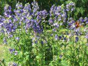 Cінюха блакитна: вирощування