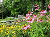 Квітка ехінацея на дачній ділянці