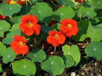 Квітка настурція - властивості, лікування, опис, застосування, фото