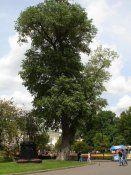 Дерево чорний тополя