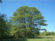 Дерево вільха чорна