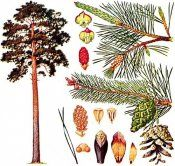 Дерево сосна лісова