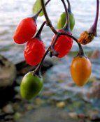 Дольчатий паслін: умови вирощування