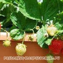 Домашнє вирощування полуниці цілий рік