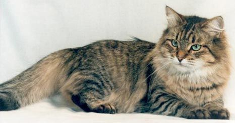 Як лікувати лишай у кішки