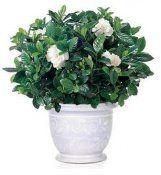Кімнатна рослина гарденія жасминовидная
