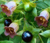 Беладона отруйна рослина: інструкція, застосування