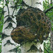 Лікувальні властивості березового гриба чага