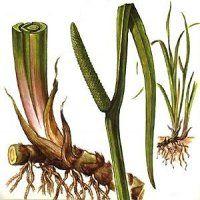Лікарська рослина лепеха болотний