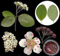 Лікарська рослина чорноплідна горобина