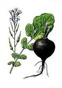 Лікарська рослина чорна редька