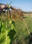 Лікарська рослина хрін