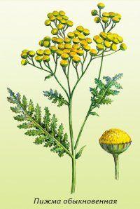 Лікарська рослина пижмо звичайна