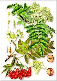 Лікарська рослина горобина звичайна
