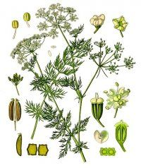 Лікарська рослина кмин звичайний