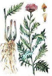 Маралів корінь маралів корінь - застосування, властивості, протипоказання