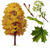 Листопадне дерево клен гостролистий