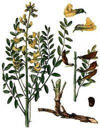 Багаторічна лікарська рослина софора толстоплодная
