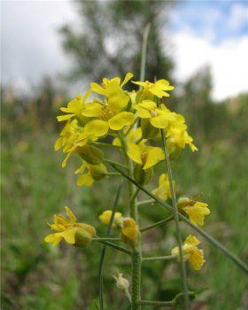 Молочай квітка - властивості, застосування, фото