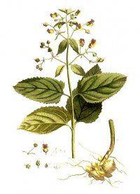 Ранник вузлуватий. Трава ранник - лікарська рослина
