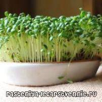 Про крес-салаті і вирощуванні його будинку