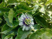 Пассифлора: умови вирощування