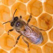 Корисні властивості, користь меду в сотах для здоров`я людини