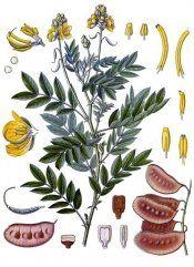 Рослина олександрійський лист - властивості, протипоказання, фото