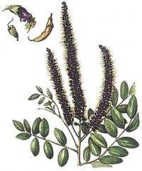 Рослина аморфа чагарникова