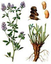 Рослина люцерна посівна