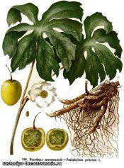 Рослина подофілл щитовидний