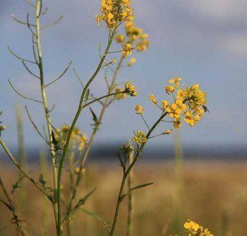 Трава гулявник лікарський, фото