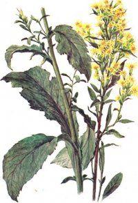 Трава золота різка - рослина золотарник звичайний, застосування в народній медицині, ліки, фото