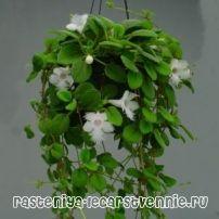 Кучеряві кімнатні рослини цвітуть