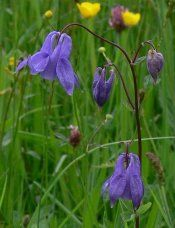 Водозбір трава: отруйна, але лікарська рослина, фото