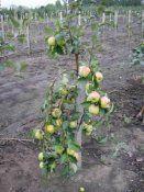 Вирощування і догляд за яблунями